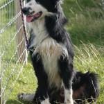 Durness Dog Trials (4)